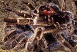 Tarantula, Baboon Spider Photographic Print