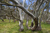 Snow Gums Forest of Snow Gums Growing in Victoria's Highcountry Fotografisk tryk
