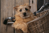 Border Terrier in Bicycle Basket Reproduction photographique
