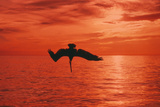 Brown Pelican Diving for Fish, Sunset Reproduction photographique
