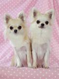 Chihuahua Dog Photographic Print