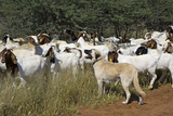 Anatolian Shepherd Dog with Herd of Goats Photographic Print