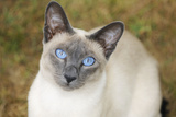 Blue Point Siamese Cat Sitting on Grass Photographic Print