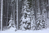 Spruce Forest in the Rocky Mountains around Jasper Photographic Print