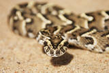 Puff Adder its Venom Is Cytotoxic and Fatal in Humans Photographic Print