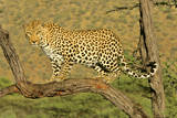 Leopard Standing on Acacia Branch Reproduction photographique