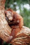 Orang-Utan Young Resting on Tree Photographic Print