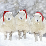 Sheep Texel Ewes in Snow Wearing Christmas Hats Photographic Print