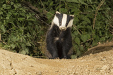 European Badger Emerging from Sett Photographic Print