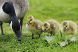 Canadian Goose with Goslings Photographic Print