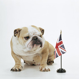Bulldog with British Union Jack Flag Photographic Print