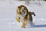 Amur Tiger in Winter Snow Photographic Print