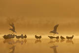 Northern Lapwings and Black-Headed Gulls Reproduction photographique