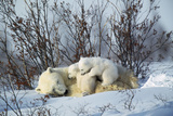 Polar Bear Adult Lying Down with Cubs, Both Photographic Print