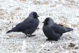 Jackdaws in the Frost Photographic Print