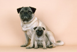Pug Dog Adult and Puppy Fotografisk tryk