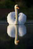 Mute Swan in an Aggressive Display Posture Impressão fotográfica