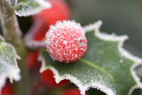 Holly' Rimed Berries in Frost Photographic Print
