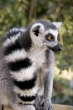 Ring-Tailed Lemur with Tail Wrapped around Body Photographic Print