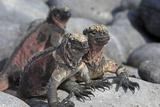 Marine Iguana Photographie