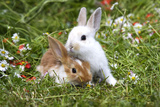 Domestic Rabbits Outside Amongst Flowers Fotografisk tryk
