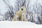 Polar Bear and Cubs X Two Sitting Photographic Print