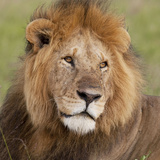 African Lion Male Fotodruck