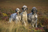 English Setter Dogs Three in Row Photographic Print