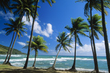 Coconut Palm Palm Trees Along Shoreline Photographic Print