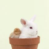 Rabbit and Chick Mini Ivory Satin Rabbit Sitting Photographic Print