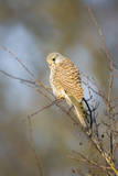 Common Kestrel Adult Female Perched Photographic Print