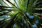 Bamboo Forest from Below Photographic Print