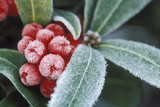 Frosted Skimmia Photographic Print