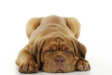 Dogue De Bordeaux Puppy Lying Down Photographic Print