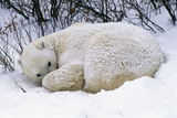 Polar Bear Resting in Snow Photographic Print