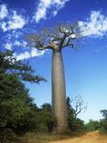 Baobab Tree Fotografisk tryk