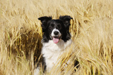 Border Collie in Field Photographic Print