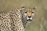 Cheetah Adult Female Photographic Print