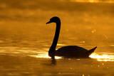 Mute Swan Silhouette at Sunrise Impressão fotográfica