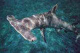 Great Hammerhead Shark Photographic Print