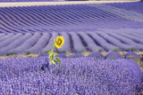 Lavandin Lavender with Single Sunflower Photographic Print