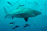 Bull Shark Female Photographic Print