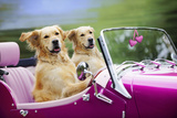 Golden Retriever Dog, Two Valentine Dog Couple in Car Photographic Print