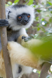 Diademed Sifaka Photographic Print