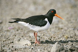 Oystercatcher Side View, on Rocky Shore Reproduction photographique