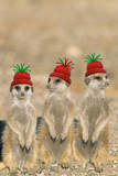 Meerkat Wearing Woolly Christmas Hats Photographic Print