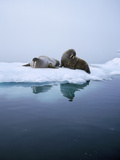 Walrus Photographic Print