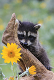 Raccoon Baby Photographic Print