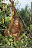 Orang-Utan Young Photographic Print