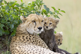 Cheetah Mother and 8-9 Week Old Cubs Photographic Print